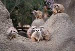 Meerkat Troop by DeniseSoden