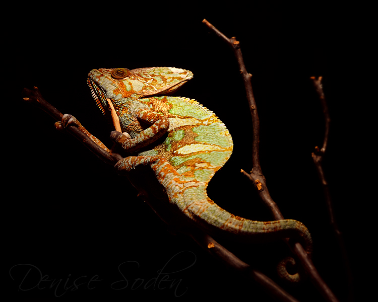 Spotlight Chameleon by DeniseSoden