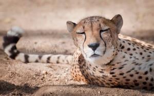 Cheetah 2 by DeniseSoden