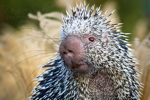 Quills and Whiskers