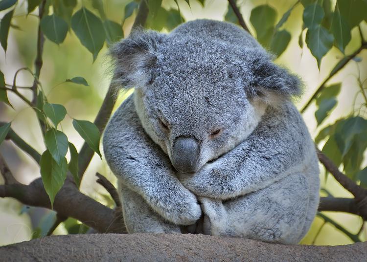 Cuddly Koala by DeniseSoden