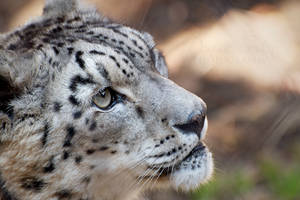 Snow Leopard I by DeniseSoden