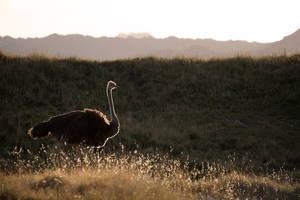 Sun-kissed Ostrich