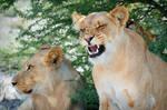 Kalahari Lions 626