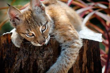 Playful Lynx Cub