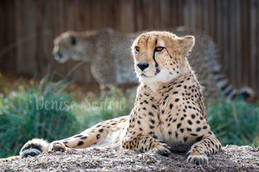Sunset Cheetahs