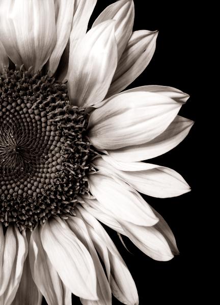 Sunflower by DeniseSoden