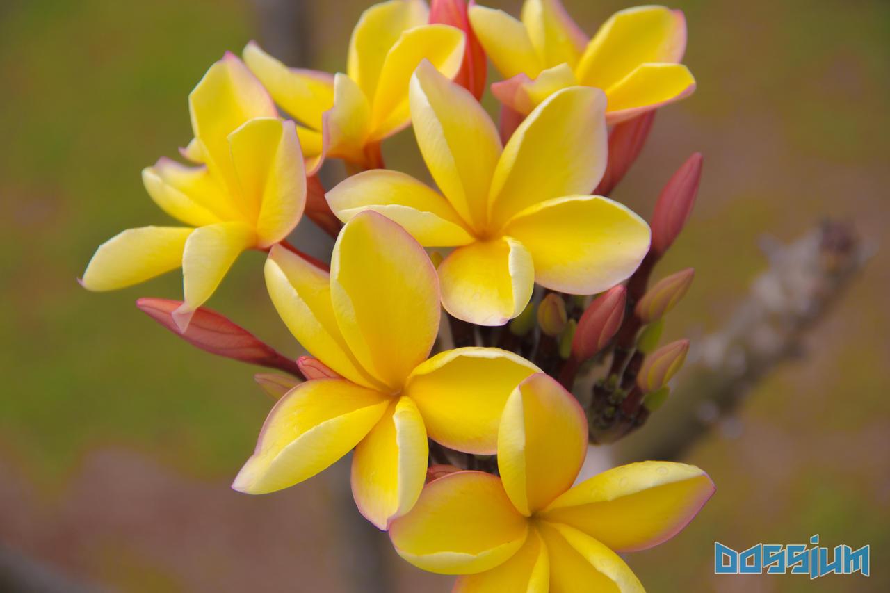 Yellow Plumeria by Dossium