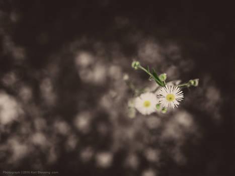 Tiny Little Wild Daisies
