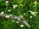 Mossy Log with Wild Daisies