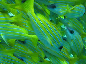 PJ fish