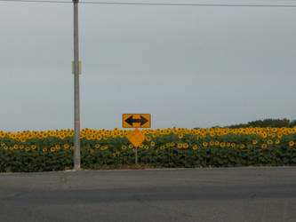 Sunflowers Both Directions by dragondoodle