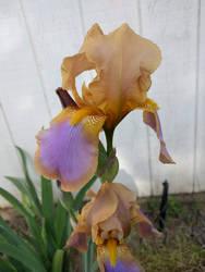 Gold and Purple survivor by dragondoodle