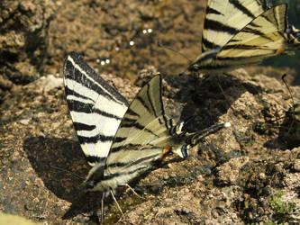 butterflies. by giannisix