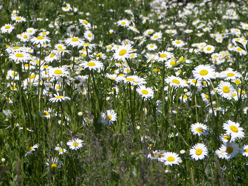 field of daisies by fancyfish77 on deviantart