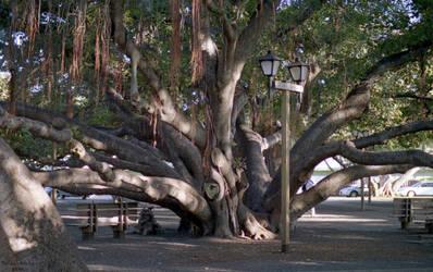Banyan Tree in Lahaina Maui