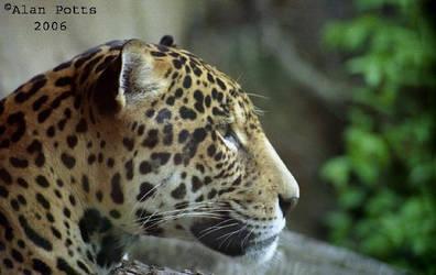 Leopard close-up.