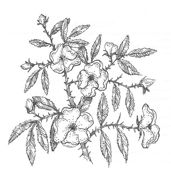 wild roses by moriganu