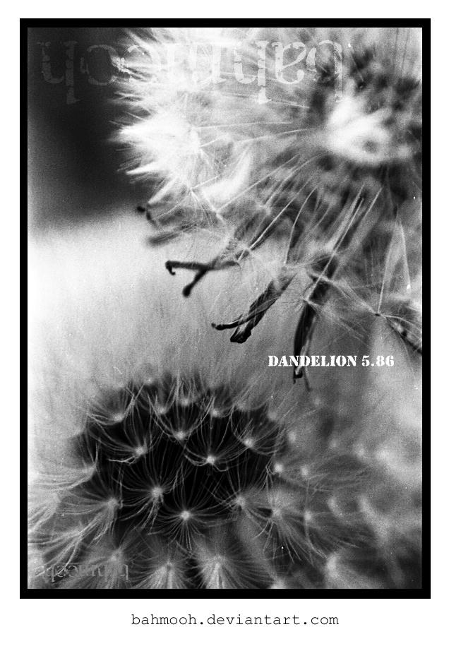 dandelion 5.86 by bahmooh
