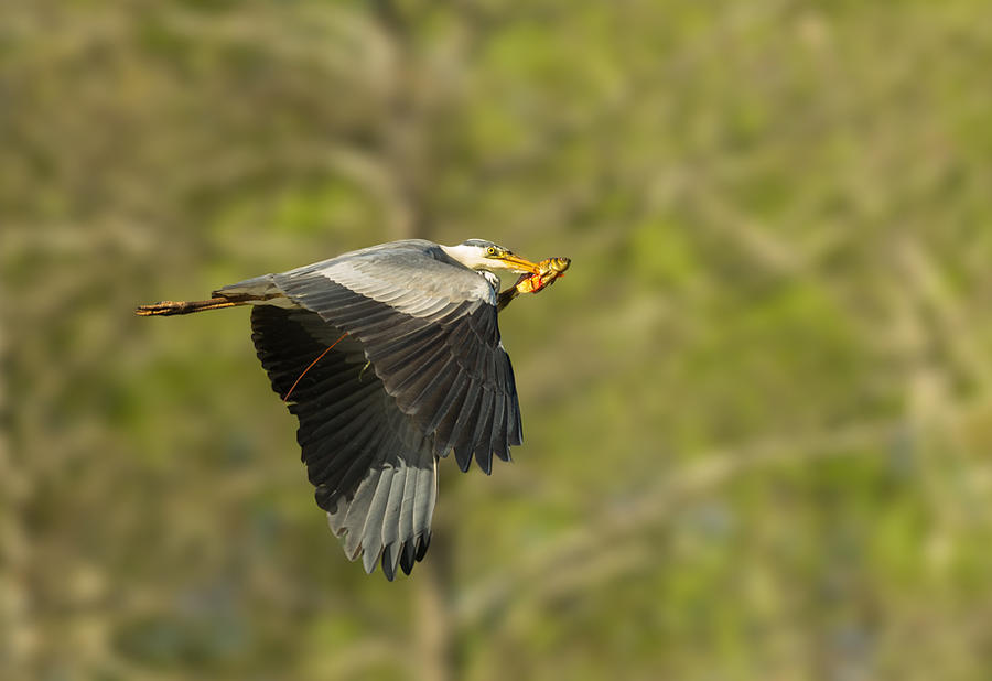 great blue heron by thisable