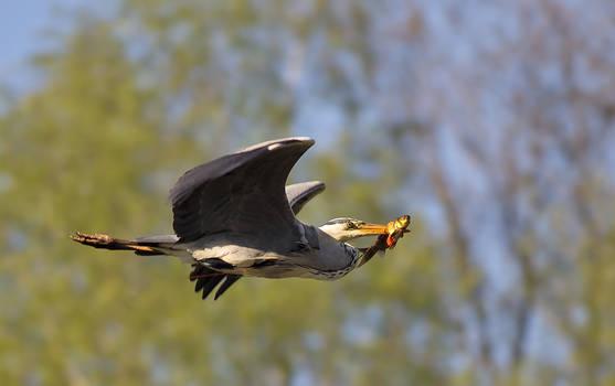 great blue heron 3