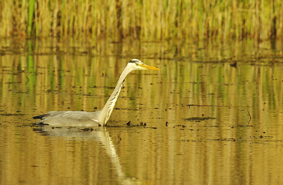 grey heron by thisable
