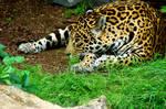 leopard by Merlin222