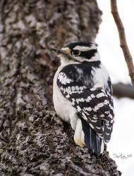 A Kind of Woodpecker