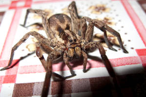 Wolf Spider stock by Crysta-stock