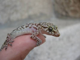 Gecko on finger stock by Crysta-stock