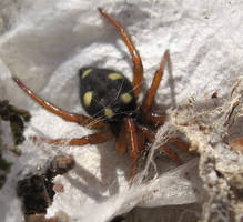 Yellow Spotted Spider Stock by Crysta-stock