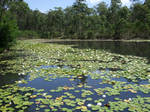 Lake and Lilly Pads