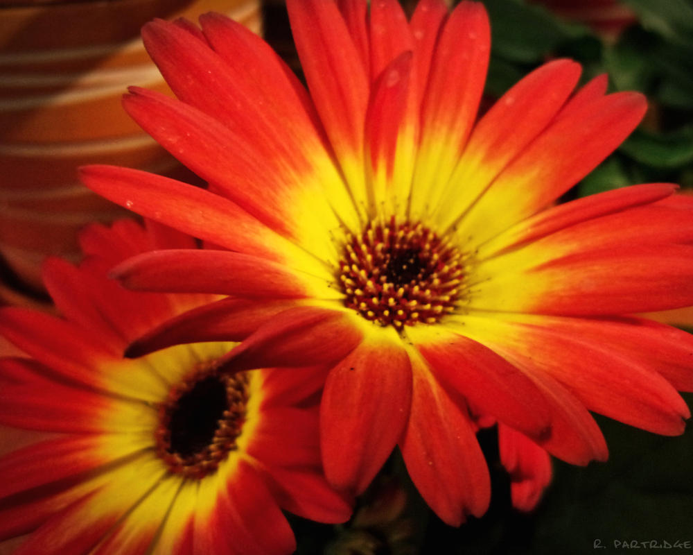 Red And Yellow Daisies Fire Flowers By Jeepfanatic On Deviantart