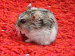 My little hamster