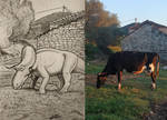 Ceratopsian cattle(and reference)
