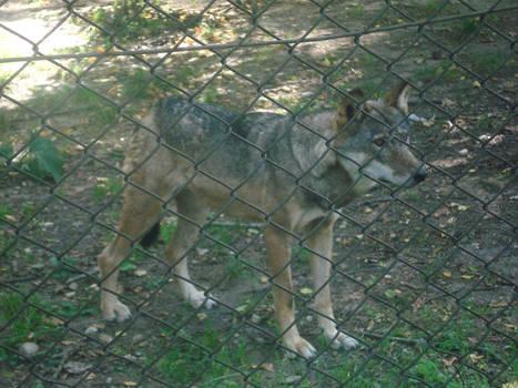 Bialowieza 2008 - wilk