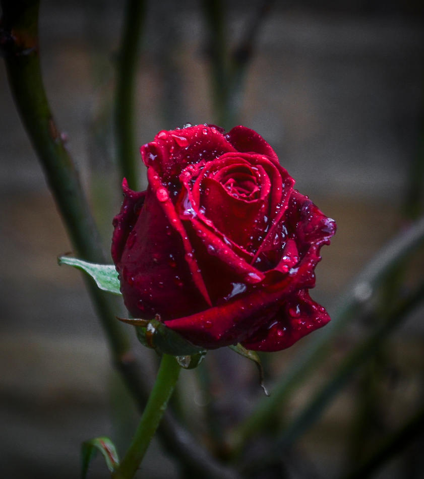 Dracula's Rose by SaraWolfPhotographer
