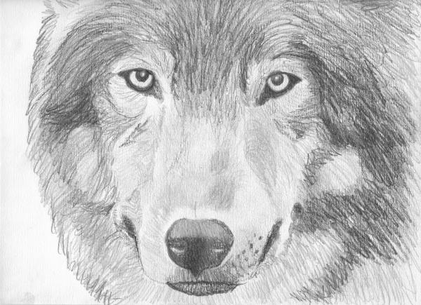 A Pencil Drawing Of A Wolf By Sliverdemonwolf On DeviantArt