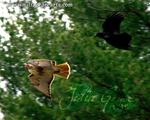 Hawk and Crow