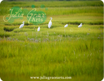 Egrets On The Marsh
