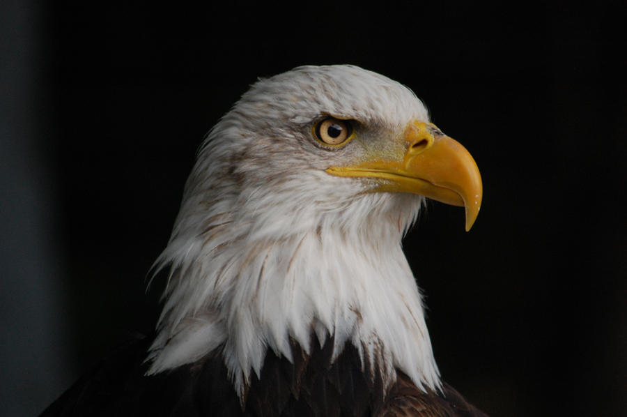 The Bald Eagle Symbol Best Image Konpax 2018