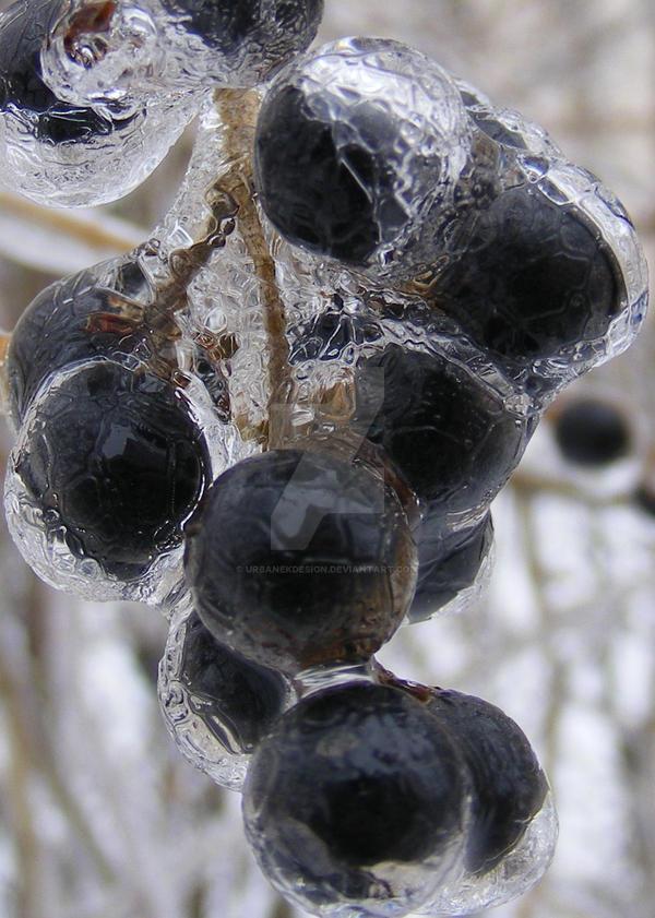 Winterberries on ice by UrbanekDesign