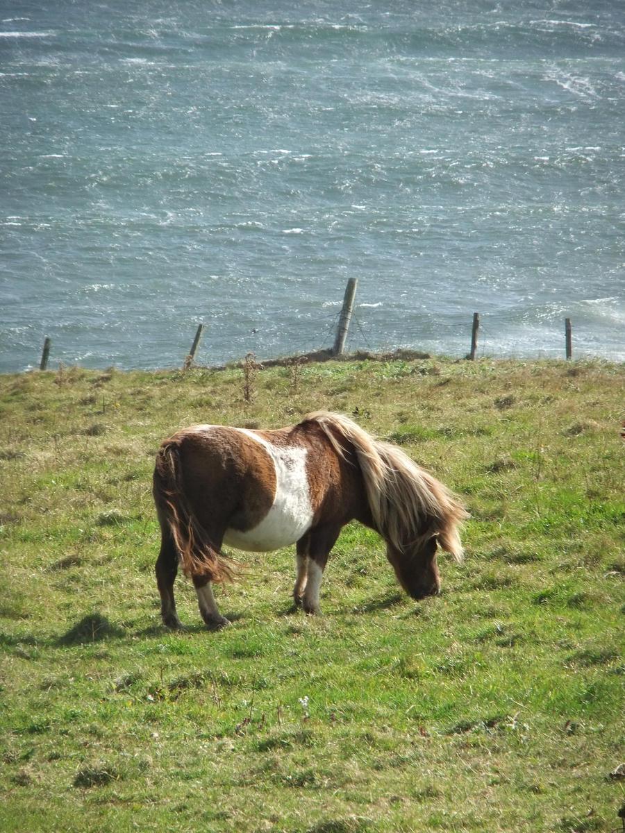 Shetland pony by funkyneonstar