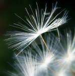 Dandy-flower