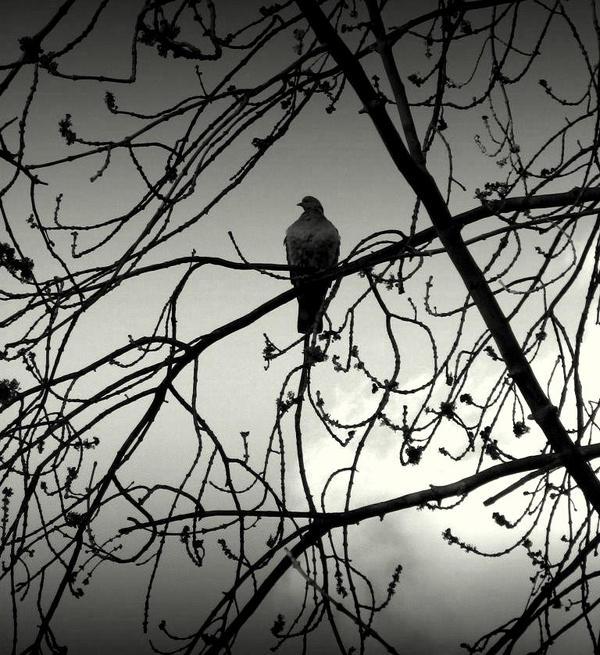 Wild pigeon by lostknightkg