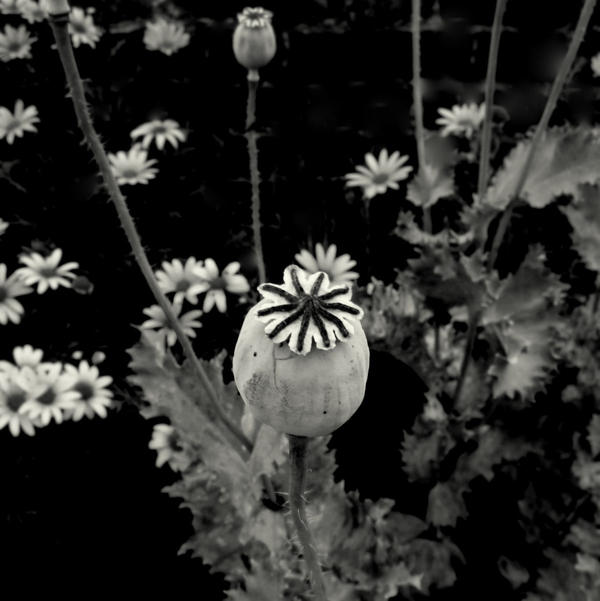 Wild poppy by lostknightkg