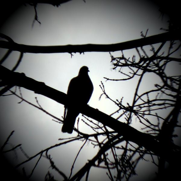 Wild pigeon II by lostknightkg