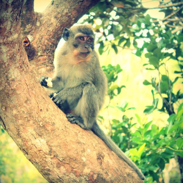 Mauritius monkey by lostknightkg