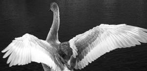 Swan Duckling