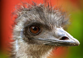Emu by PenguinPhotography